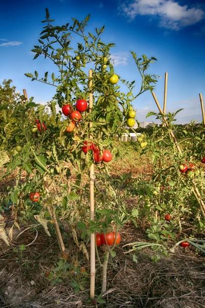 Tomate (c) Gehrmann