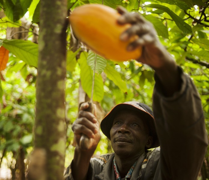 Theodor Kouakou harvesting a cocoa pod on his farm