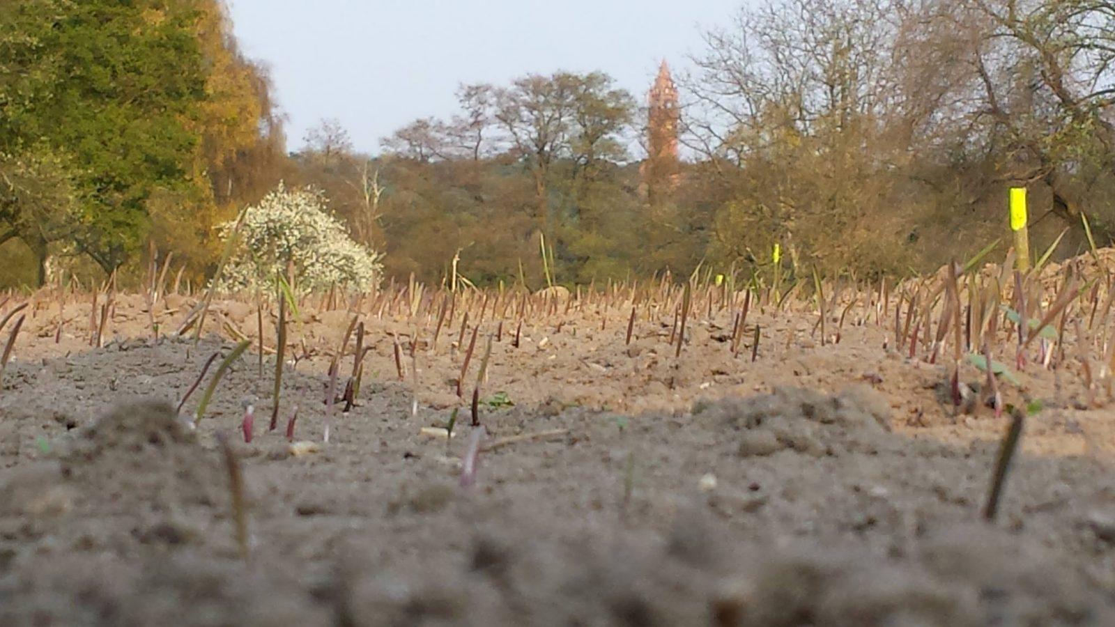 Der Roggen auf dem kleinen Weltacker an der Havel