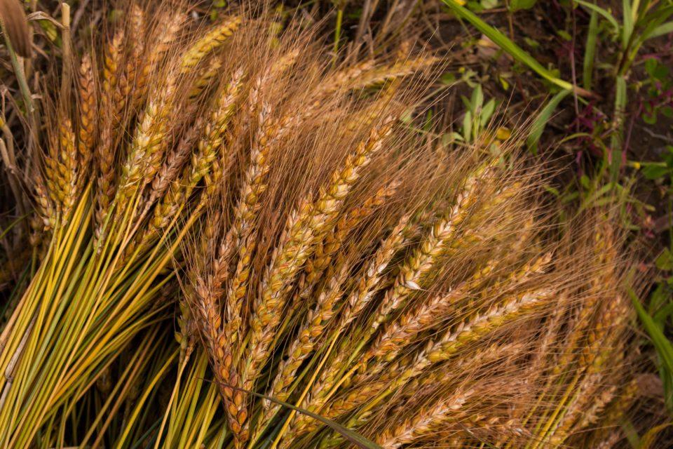 Weizenernte unseres Weltackers