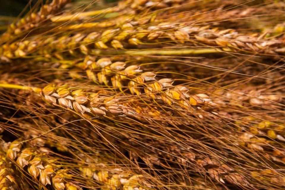 Weizen von unserem Weltacker