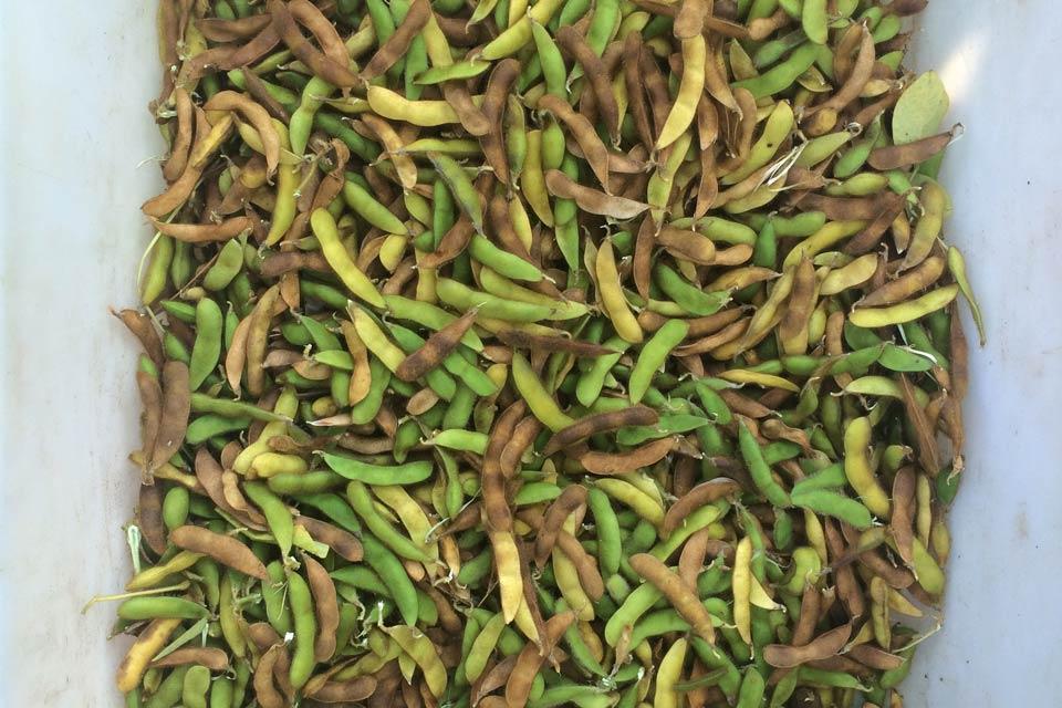 Sojabohnen nach der Ernte