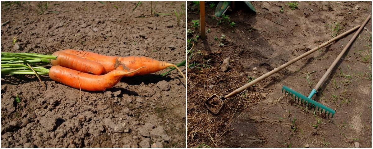 Karotten auf dem Weltacker
