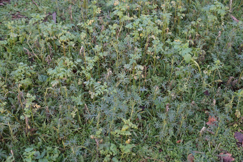 Wintergrün, u.a. Phacelia und Lupinen.